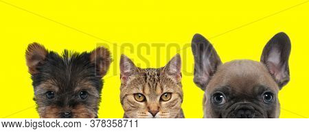 cute couple of 3 animals consisting of a Yorkshire Terrier dog, metis cat and French Bulldog dog arranged in line are looking ahead on yellow background