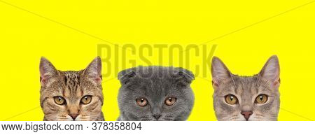 two metis cats and one Scottish Fold cat are standing side by side with no occupation on yellow background