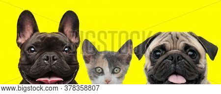 excited team of animals consisting of a French Bulldog dog, metis cat and Pug dog are standing next to each other and sticking out tongue on yellow background