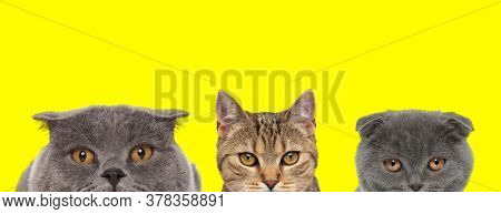 adorable team of three animals consisting of a metis cat and two Scottish Fold cats are standing next to each other and looking ahead on yellow background