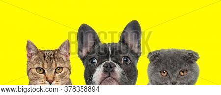 metis cat, French Bulldog dog and Scottish Fold cat are standing next to each other and hiding theirs faces from camera on yellow background