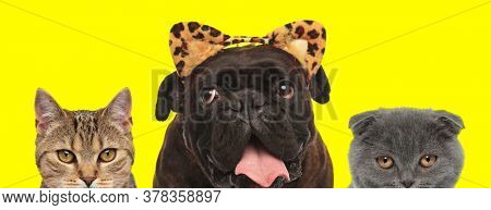 adorable domestic team of 3 animals consisting of a metis cat, Boxer dog wearing leopard ears and Scottish Fold cat are standing side by side  and fooling around on yellow background