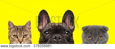metis cat, French Bulldog dog and Scottish Fold cat are standing side by side and hiding faces from camera on yellow background