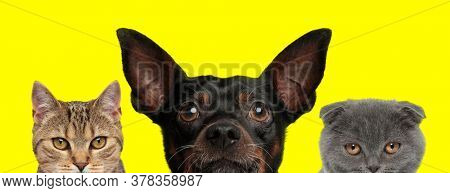 cute metis cat, Pincher dog and Scottish Fold cat are arranged in line and hiding face from camera on yellow background