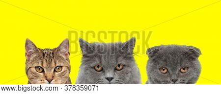 couple of 3 cats consisting of a metis cat, British Longhair cat and Scottish Fold cat arranged in line are looking at camera with mad eyes on yellow background