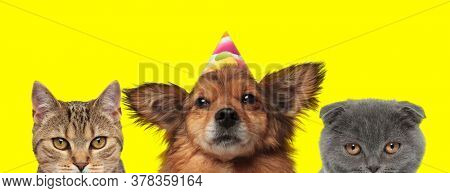 cute domestic couple of animals consisting of a metis cat, metis dog wearing a birthday hat and Scottish Fold cat are standing and looking at camera on yellow background