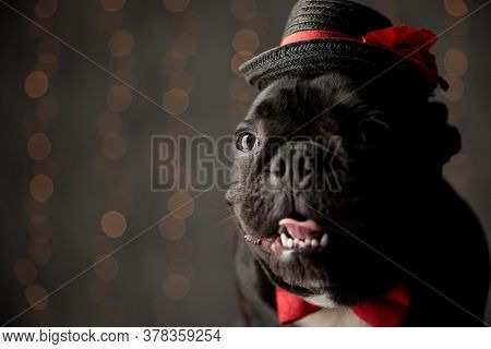 cute french bulldog puppy wearing bowtie and hat, looking to side, sticking out tongue and panting on lights background
