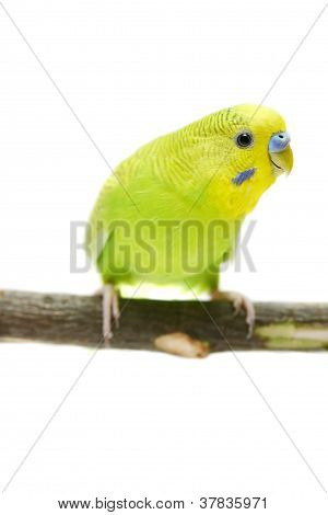 Budgie on white