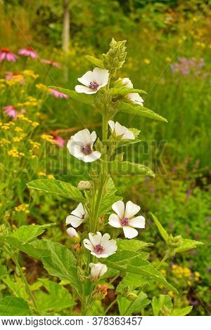 Marsh Mallow - Althaea Officinalis Found On The Coast Of North Somerset