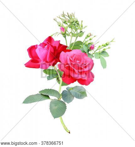 Branch of rose with red flowers. Isolated on white background