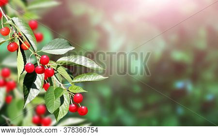 Cherry tree branch with red berries and leaves on blurred sunny background. Copy space for text