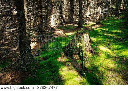 Spruce Tree Forest, Clearing With Moss And Tree Trunk