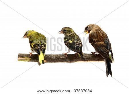 Three song birds: The pair of Eurasian Siskin and female of The Common Redpoll