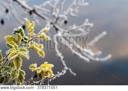 Frost-covered Rose Hip Branch With Leaves On A Blurred Background