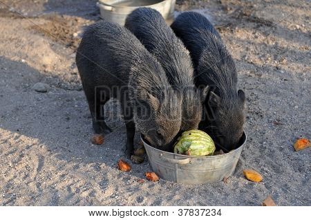 Tree Black Pigs