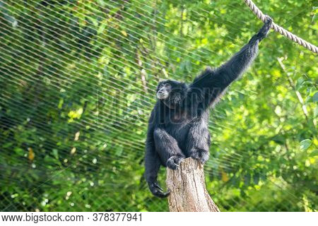 Siamang gibbon, Symphalangus syndactylus, in a zoo with ropes and tree stumps to climb and swing from. The largest gibbon and indigenous to Indonesia, Malaysia and Thailand. Endangered in the wild.