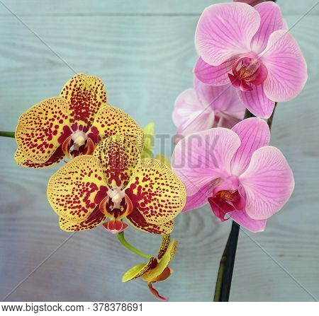 Two Varieties Of Phalaenopsis Orchids: Sam And Reflection, Beautiful Bright Indoor Tropical Plants.