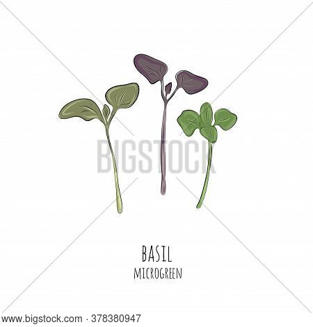 Hand Drawn Basil Micro Greens. Vector Illustration In Sketch Style Isolated On White Background.