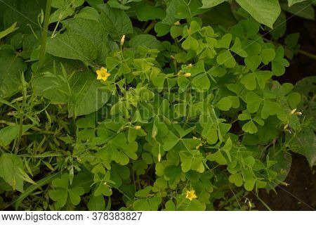 Oxalis Stricta, Called The Common Yellow Woodsorrel, Common Yellow Oxalis, Upright Yellow-sorrel,lem