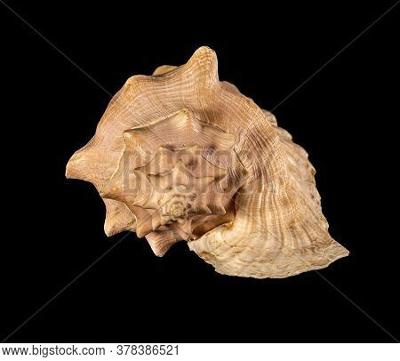Sea Shell Isolated. Cassis Cornuta, Common Name The Horned Helmet, Is A Species Of Extremely Large S