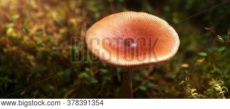 A Mushroom Toadstool With A Brown Hat In The Forest, With Sunlight.
