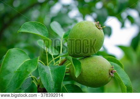 Close Up Of Pear Hanging On Tree.fresh Juicy Pears On Pear Tree Branch.organic Pears In Natural Envi