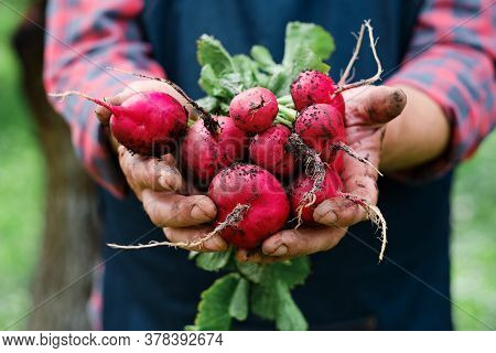 Farmers Hands With Freshly Harvested Organic Vegetables. Horse Radish