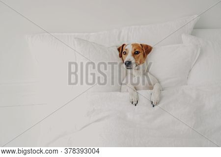 Photo Of Small Pedigree Dog Lies In Comfortable Bed Under Soft Blanket, Enjoys Cozy Domestic Atmosph