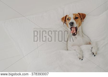 Cute Tired Jack Russell Terrier Dog Yawns Sleeps In Comfortable Bed, Relaxes Under White Blanket, En