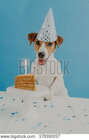 Indoor Shot Of Pedigree Dog Celebrates First Birthday, Wears Cone Party Hat, Going To Eat Festive Ta