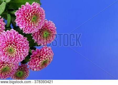Chrysanthemum Isolated On A Blue Background. Bouquet Of Purple Chrysanthemum Flowers. House Flowers