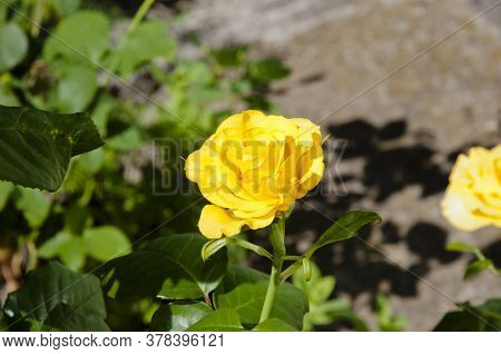 Yellow Rose Flower. Beautiful Flowered Japanese Marigold Bushes. Beautiful Bush Of Yellow Roses In T