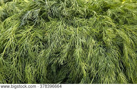 Dill Weed. Fresh Dill Greens. Fresh Green Dill Background. Fresh Green Dill Texture. Top View.