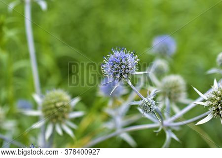 Blue And Prickly Thistle Flower In The Field