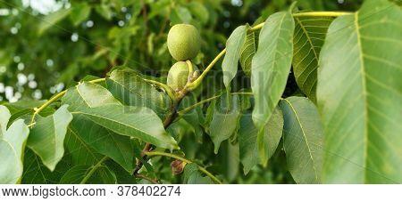 Ripening Walnuts On A Branch. Two Nuts In Green Skin. Walnut Tree. Harvest.