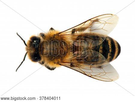 Detail Of Bee Or Honeybee In Latin Apis Mellifera, European Or Western Honey Bee Isolated On The Whi