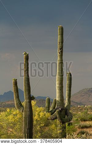 A Pair Of Saguaro Cacti With A Yellow Palo Verde Tree In The Sonoran Desert With A Storm In The Back