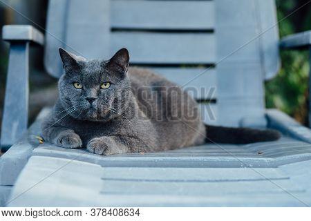 British Breeds Adult Grey Grey Cat Lies On Grey Sunbed