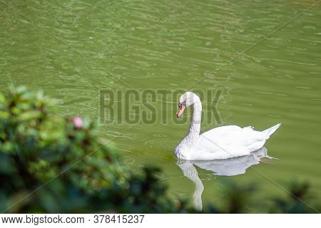 Beautiful Of White Geese Floating On Small Pond. Beautiful Nature Background