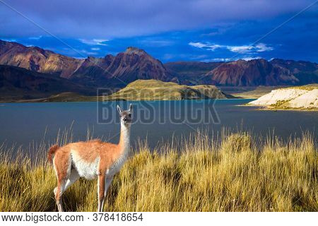 Guanaco is a wild humpbacked camel that lives in South America. Argentina, Patagonia. Los Glaciares Natural Park. Huge lake with azure water and cold mountains
