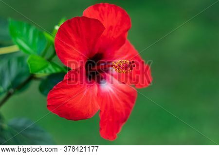 Hawaiian Hibiscus Rosa-sinensis, China Rose, A Flowering Tropical Plant Of The Family Malvaceae. Nat