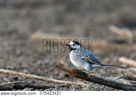 White Wagtail - Motacilla Alba, Small Popular Passerine Bird From European Fileds, Meadows And Wetla