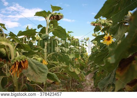 Tuscan Green Field Of Panoramic Yellow Sunflowers In Countryside Of Italy