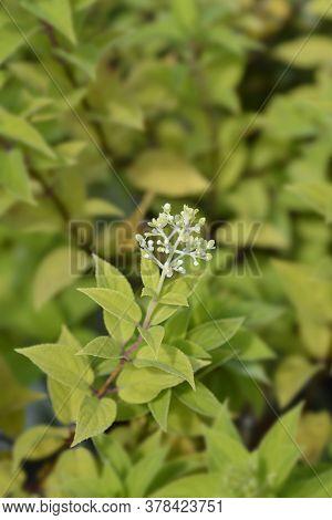 Paniculate Hydrangea Flower Buds - Latin Name - Hydrangea Paniculata