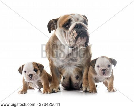 Family English Bulldog In Front Of White Background