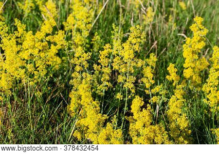 A Group Of Yellow Flowering Galium Verum Or Ladys Bedstraw In A Meadow In Morning Sunlight