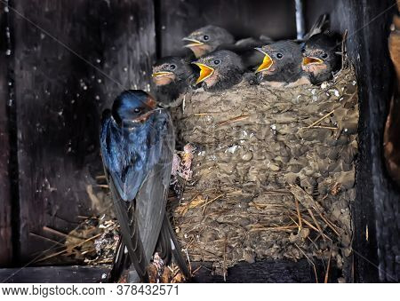 Swallow Feeding Chicks In The Nest Close Up