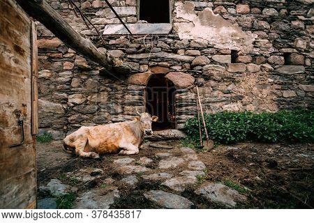 Georgia. Cow Lying In Shed In Georgian Village.
