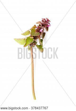 Lamium Purpureum, Red Dead-nettle, Purple Dead-nettle, Or Purple Archangel On White Background, Medi