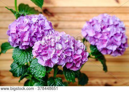 Purple Hydrangea On Background Of Wooden Fence. Hydrangea Macrophylla, Purple Hortensia Flower Bush.